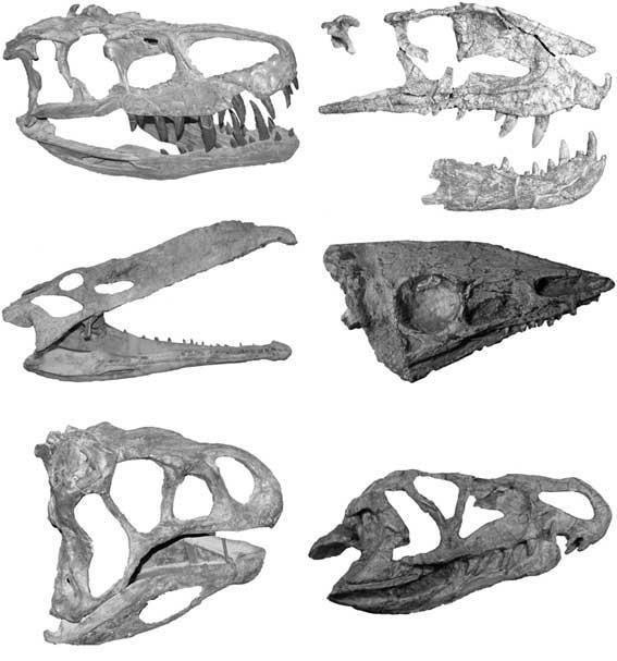 Skulls of several crurotarsans, the