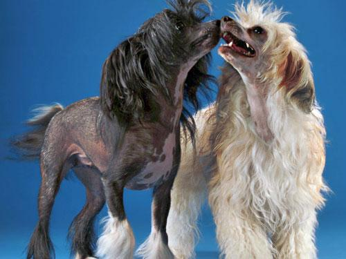 Chinese crested dogs owe their appearance to a gene mutation. Pictured are both hairless and powderpuff varieties