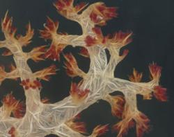 Dendronephthya, a soft coral . Click on the slideshow link in the story to see more pictures.