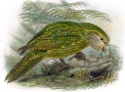 A kakapo
