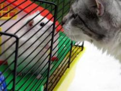 Rats can sniff out the new cat on the block