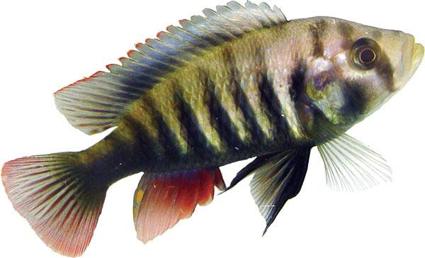 This cichlid lives in clear water, where red and blue fish don't interbreed