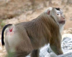 A pig-tailed macaque (Macaca nemestrina), the same species as was used in the brain implant study