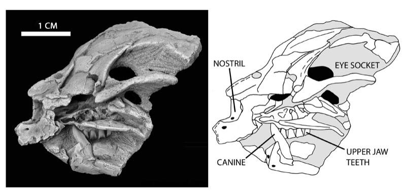 Photograph and drawing of the baby Heterodontosaurus skull. The canine and molars of the upper jaw are clearly visible