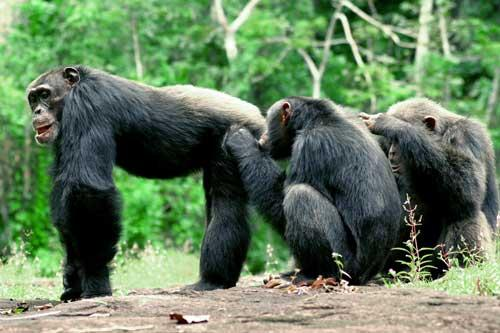 Chimps remember who has scratched their back… and who hasn't (Credit: Cristina Gomes)