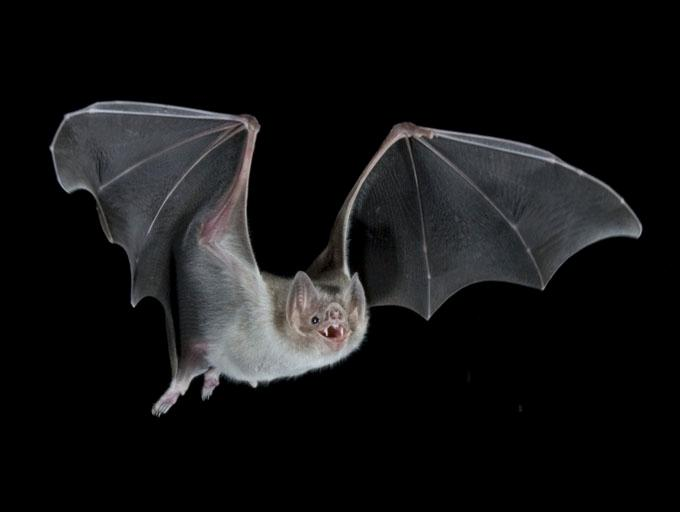 Common vampire bats live on mammalian blood alone(Credit:Barry Mansell/naturepl.com)