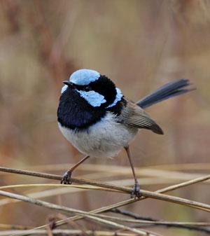 Fairy-wrens show they are able to learn alarm calls from other species