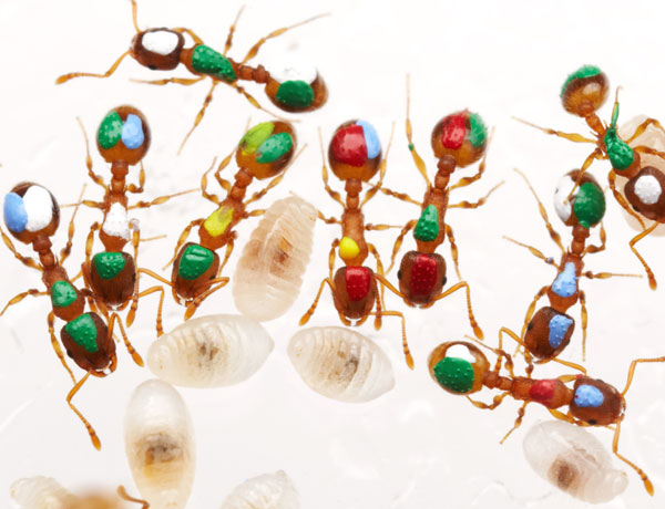 Marked ants reveal that ants with a job to do are not necessarily the best at it