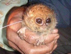 The pygmy tarsier, a primate that has not been seen alive since 1921 and was thought extinct, has been rediscovered in Indonesia