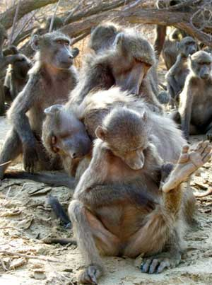 In baboon society, individuals reinforce 'friendships' through grooming one another