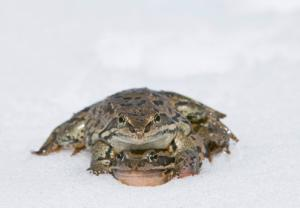 Freezing frog sperm might help bolster numbers