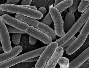 E. Coli such as these could be engineered to carry out useful tasks on a tiny scale