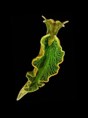 Elysia chlorotica, the solar-powered sea slug, is about 3 cm long