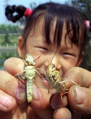 A Chinese girl shows off her catch of locusts in Beijing