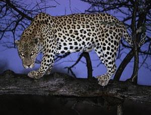 A leopard photographed in Namibia