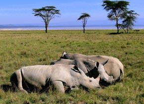 White rhinos could be frozen to preserve numbers against poachers