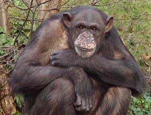 Chimpanzees (Pan troglodytes) could soon be granted rights