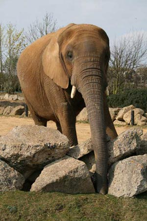 Elephants in European zoos live decades less than in African and Asian populations