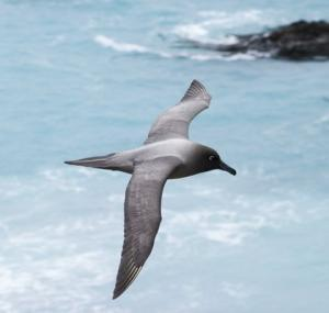 Several species of albatross, such as this light-mantled sooty albatross, nest on coastal slopes that are being denuded by rabbits