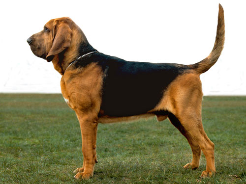 The unfeasibly saggy skin of bloodhounds must go