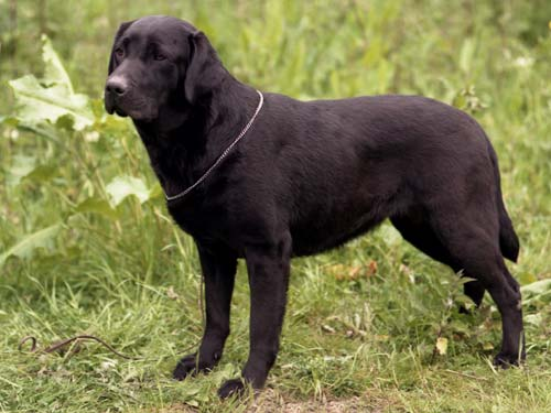 Labradors will no longer be marked up for fatness