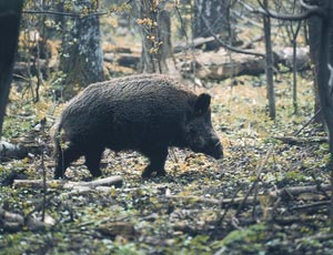 Wild boar with a highly camouflaged coat