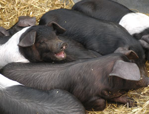 'Smiling' black and white pigs in a row: Black domestic pigs with white banding caused by mutations in their MC1R gene. This fancy color pattern would never survive in the wild, but is highly prized by people