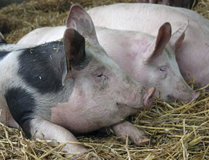 Black, pink, and white spotted domestic pigs: A domestic pig that possesses 3 different mutations in its MC1R gene leading to black and white spots