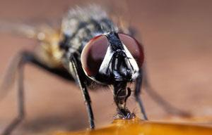 Stinky compounds that attract flies without offending the human nose could make traps more effective