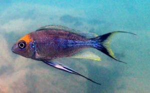 A male cichlid attempts to attract females with his brilliant coloration