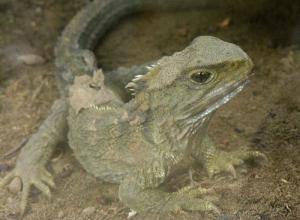 A fossilised ancestor of the tuatara suggests that part of land mass that is now New Zealand survived ancient sea-level rise (Flickr/Philip C/Creative Commons)