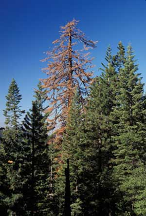 Old, unmanaged trees in the western US are dying twice as fast as they were 50 years ago