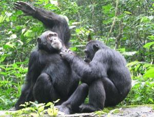 Adult male chimps form enduring friendships, maintaining them by grooming each other