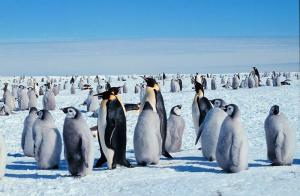 Emperor penguins rely on Antarctic ice to reproduce
