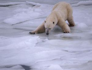 Warmer temperatures and earlier melting of sea ice are causing polar bears to go hungry