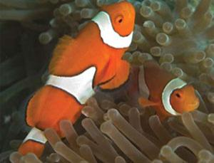 The larvae of these clownfish rely on smell to seek out new reef homes, but acid sea water seems to dull this ability
