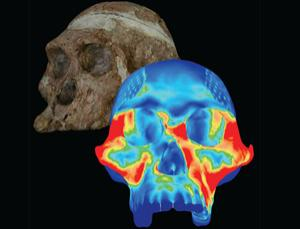 A mechanical model based on CT scans reveals that one of our earliest ancestors boasted a mouth ideal for cracking tough nuts and seeds