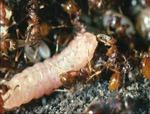 Caterpillar inside a red ant nest, being fed regurgitations by a worker ant (Courtesy of Jeremy Thomas)