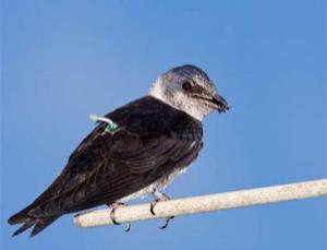 A female purple martin with geolocator device. Twenty purple martins, members of the swallow family, wore them while migrating from Pennsylvania to South America and back. The birds made the trip three times faster than expected