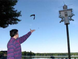 With hopes of recapturing the bird next year, biology professor Bridget Stutchbury of York University, Toronto, releases a purple martin outfitted with a tiny geolocator for its round-trip migration. Two purple martins and five wood thrushes returned to their starting place in Pennsylvania, allowing scientists to reconstruct their routes
