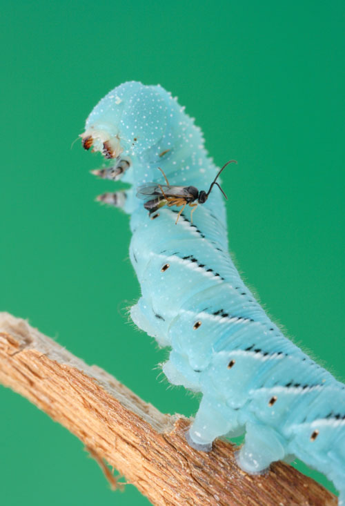 A parasitic wasp lays its eggs into a caterpillar, at the same time delivering a hybrid virus
