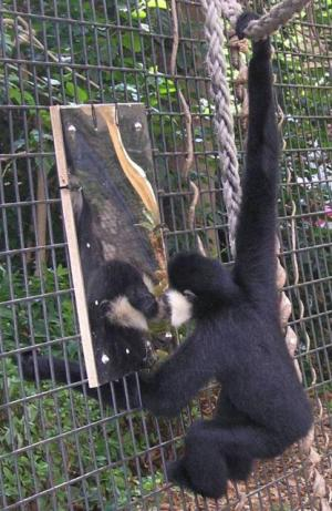 The gibbons sometimes tried to reach around the mirror to get at the ape on the other side