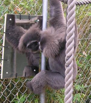 A gibbon seems to be interested in itself, but none tried to get at icing on their own faces