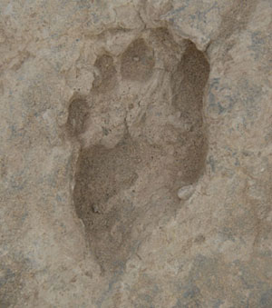 This 1.5-million-year-old fossil footprint, showing an upright stride, was discovered at a site in Kenya