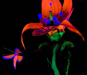 This orchid glows in the dark. It was created by artist Nicole Heydenrijk from Wainuomata, Lower Hutt, Wellington, New Zealand, assisted by Rachel Lam
