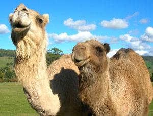 Not known for their in-depth knowledge of quantum physics, camels may still have a role to play in explaining uncertainty in classical terms