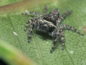 Menemerus bivittatus is one of three species of jumping spider that steal food from ant columns