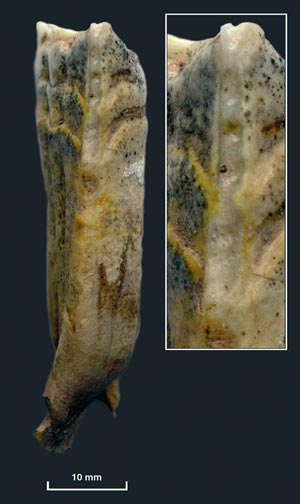 5500-year-old horse teeth, like this one, found at Botai settlements show distinct parallel wear lines typical of bridled horses