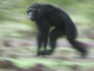 New research suggests that chimps are startlingly good navigators, keeping geometric mental maps of their territory