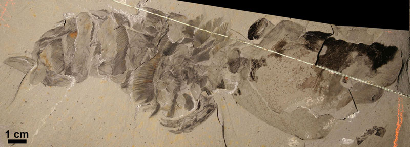 This Hurdia fossil was uncovered by Charles Walcott and now is part of the collection at the Smithsonian National Museum of Natural History in Washington, DC. The initial description of the specimen left out its carapace, leading to its misidentification. It is one of the only Hurdia fossils, however, to have retained its eyes
